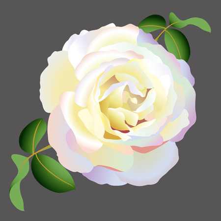 rose blanche: rose blanche