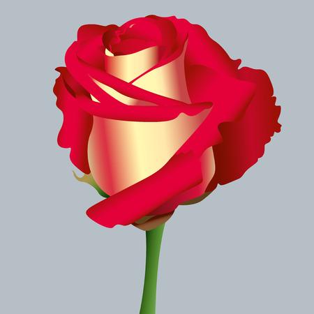 Red rose Standard-Bild - 40218979