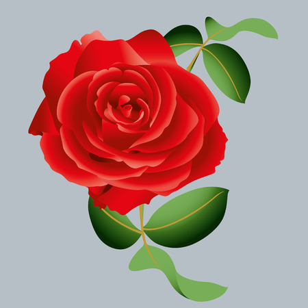 blossomed: red rose Illustration