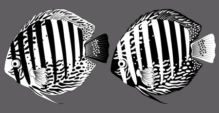 discus: vector black and white aquarium fish discus