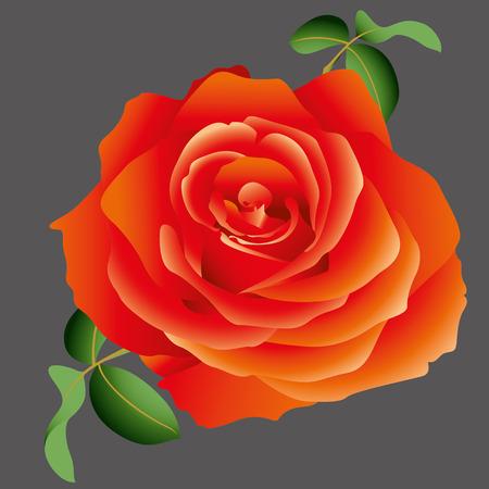 Vektor rote Rose Standard-Bild - 40228461