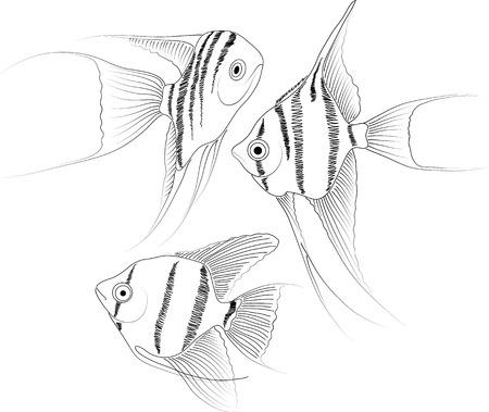 pterophyllum: vector black and white aquarium fish