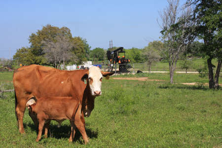 Mother Cow Nursing Calf and Oil Well