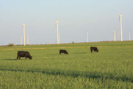 cows grazing near wind turbines