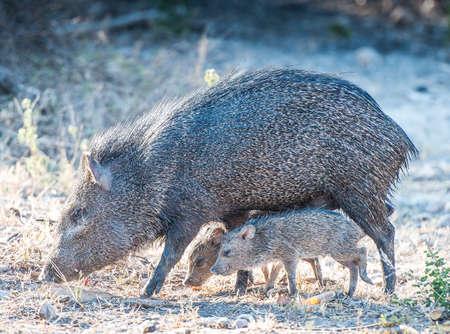 Javelina And Pigs 版權商用圖片