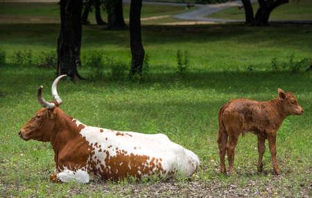 Longhorn Cow And Calf 版權商用圖片