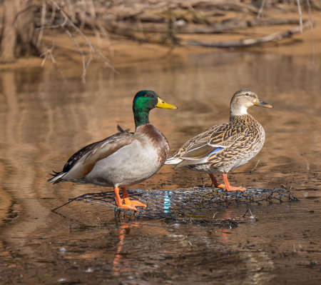 Mallard Duck Pair On Water Stock Photo