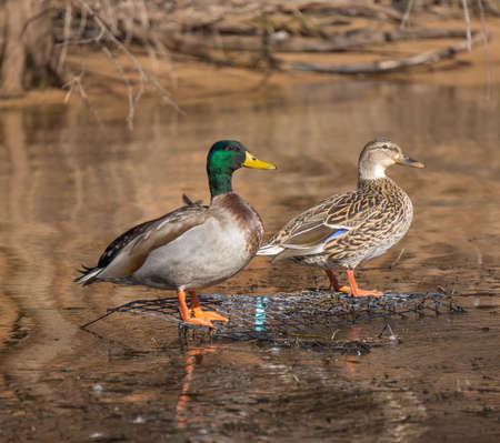 mallard: Pares del pato silvestre en el agua Foto de archivo