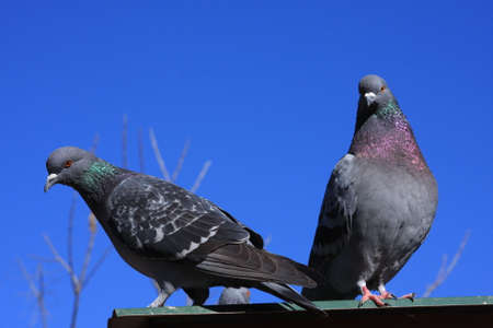 the pair: Pair Of Pigeons On Rooftop Stock Photo