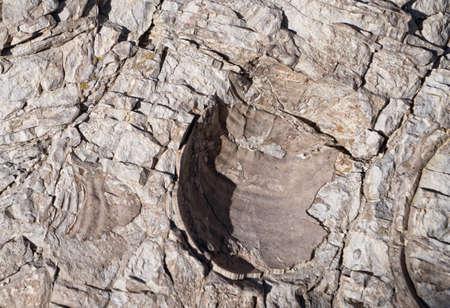 indentation: Fossil Shell Indentation