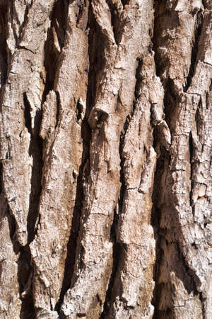 tree bark: Cottonwood Tree Bark