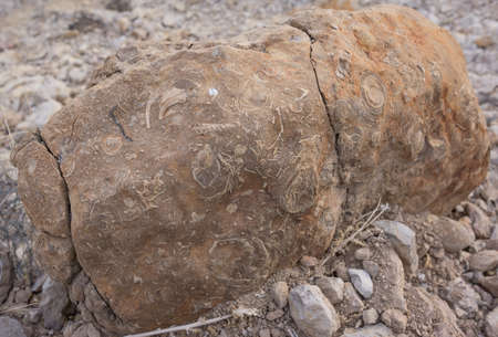 fossilized: Fossils In Rock