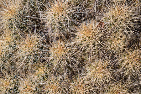thorn: Cactus Thorn Cluster