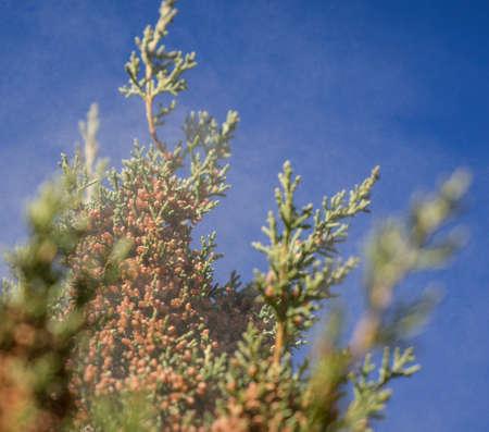 cedar: El polen de cedro fiebre de las monta�as Foto de archivo