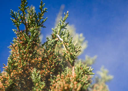 allergens: Cedar Pollen Grains Ejecting