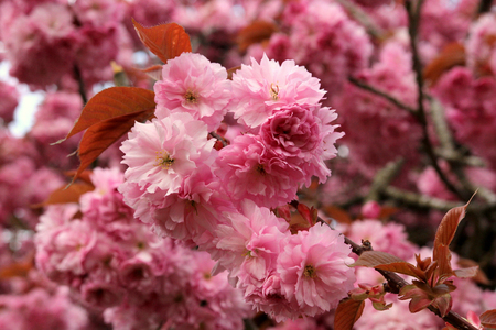 Pink flowering Cherry blossoms. Picture shows pink flowering cherry blossom in focus at the centre of the image. The backdrop shows more blossom.