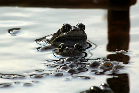 Frogs, mum, dad and the kids. Picture shows a comical scene of  two frogs looking out from a body of water, in the fore ground is a quantity of frogspawn