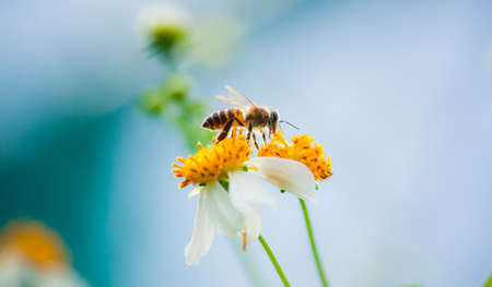 bee find nectar on the white flower photo