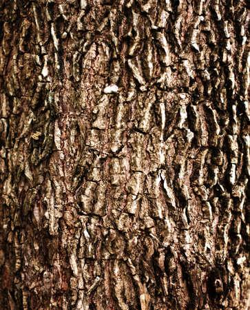 Texture old bark tree photo