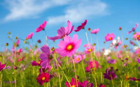 ピンクのコスモスの花の花フィールドと青い空 写真素材