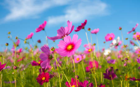 A pink cosmos flowers in flowers field and blue sky