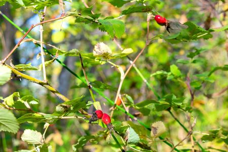 wild rosehip tree in the forest. rosehip fruit for herbal treatment. ripe fruit dogrose. treatment joints herbs. berry for the preparation of medical oil.