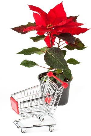 bracts: Closeup Poinsettia flower with sopping cart on the white background Stock Photo