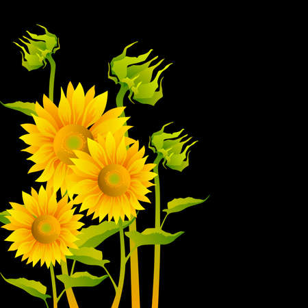 flowers close up: beautiful yellow Sunflowers on black background Illustration
