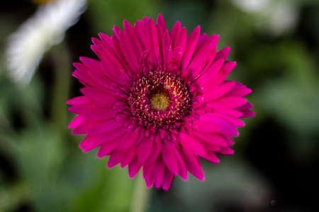 Gerbera jamesonii in garden Compositae flower