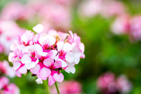 cranesbill: Pink geraniums in the morning Stock Photo