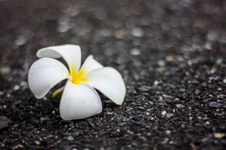 flower garden path: Gorgeous frangipani flower, over black background. Fresh-picked during a rain shower. Stock Photo