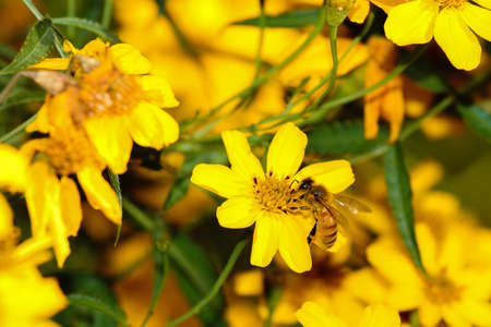 mellifera: A bee on yellow flower