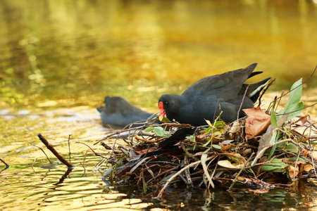 purple swamphen: Purple Swamphen bird nesting the cote