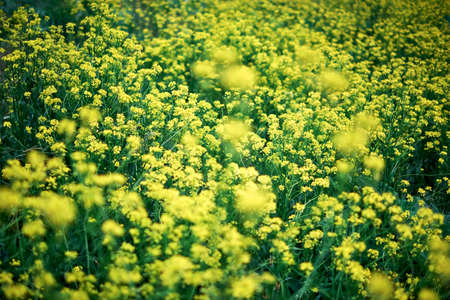 Yellow rapseed flowers with dark green background. Bio canola. Many colorful flowers with bookeh and shallow depth of field. Fresh spring field in the Month of May from Karlstadt - Bavaria, Germany