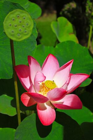 lotus flower Stock Photo - 7807462