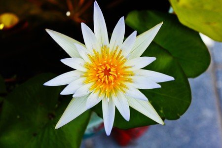 White Lotus Blooming Stock Photo - 7807164