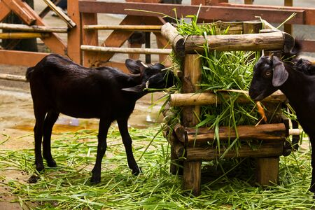 Goats feeding on green grass.