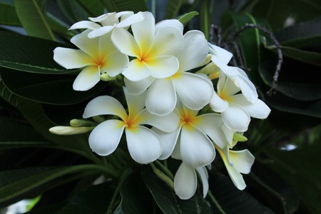White Frangipani flower at full bloom. Stock Photo - 8011686