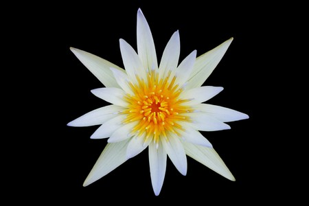 White Lotus Blooming isolated on black background.