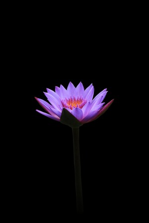 Lotus Blooming isolated on black background. Stock Photo - 8011681