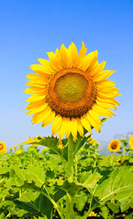 Beautiful sunflower with green leaves. photo