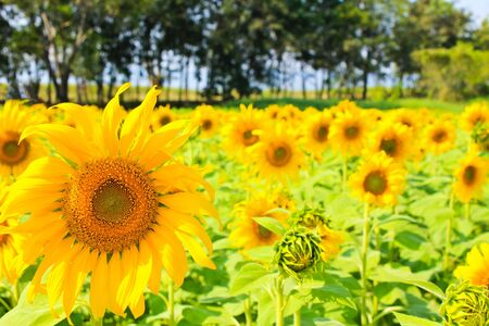 Sunflowers in the field. photo