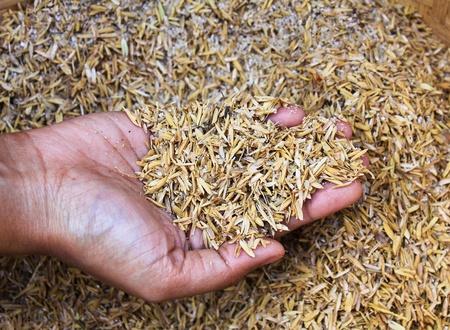 husk: Manos humanas sosteniendo la cascarilla de arroz.