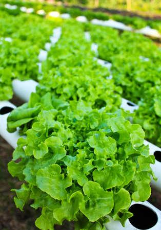 Field of fresh and tasty saladlettuce plantation. photo