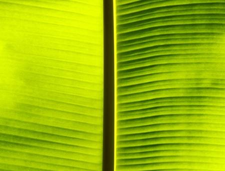 Fresh green banana leaf. photo