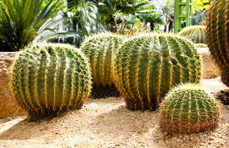 Giant cactus in Nong Nooch Tropical Botanical Garden, Pattaya, Thailand. photo