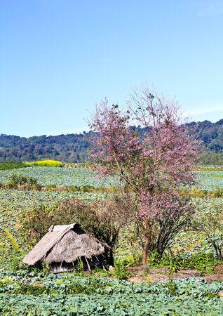 Hut in cabbage field, Thailand. photo