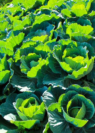 Cabbage field. Stock Photo