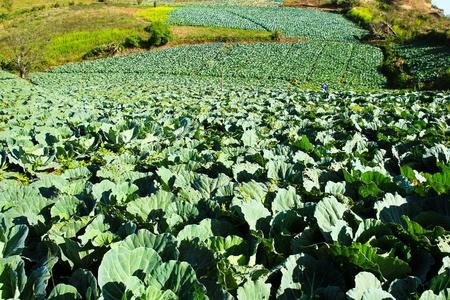 Big Cabbage farm on the mountain. Stock Photo