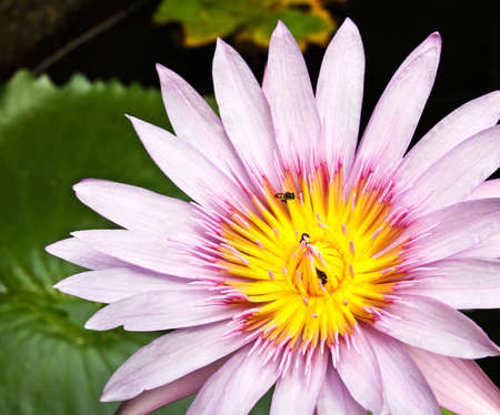 Pink tropical lotus. Stock Photo - 12054308